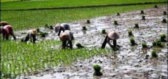 Cara Bertani Orang Aceh Menurut Keuneunong